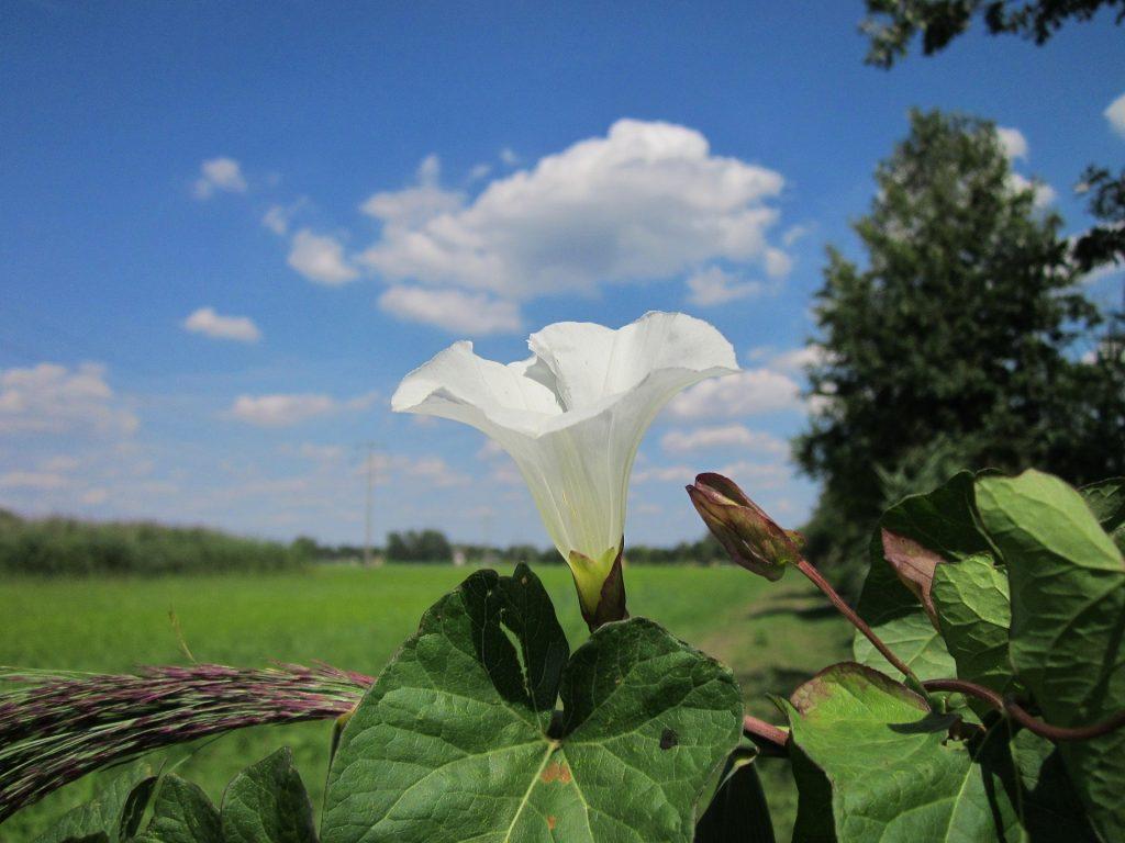 Echte Zaunwinde (Calystegia sepium)